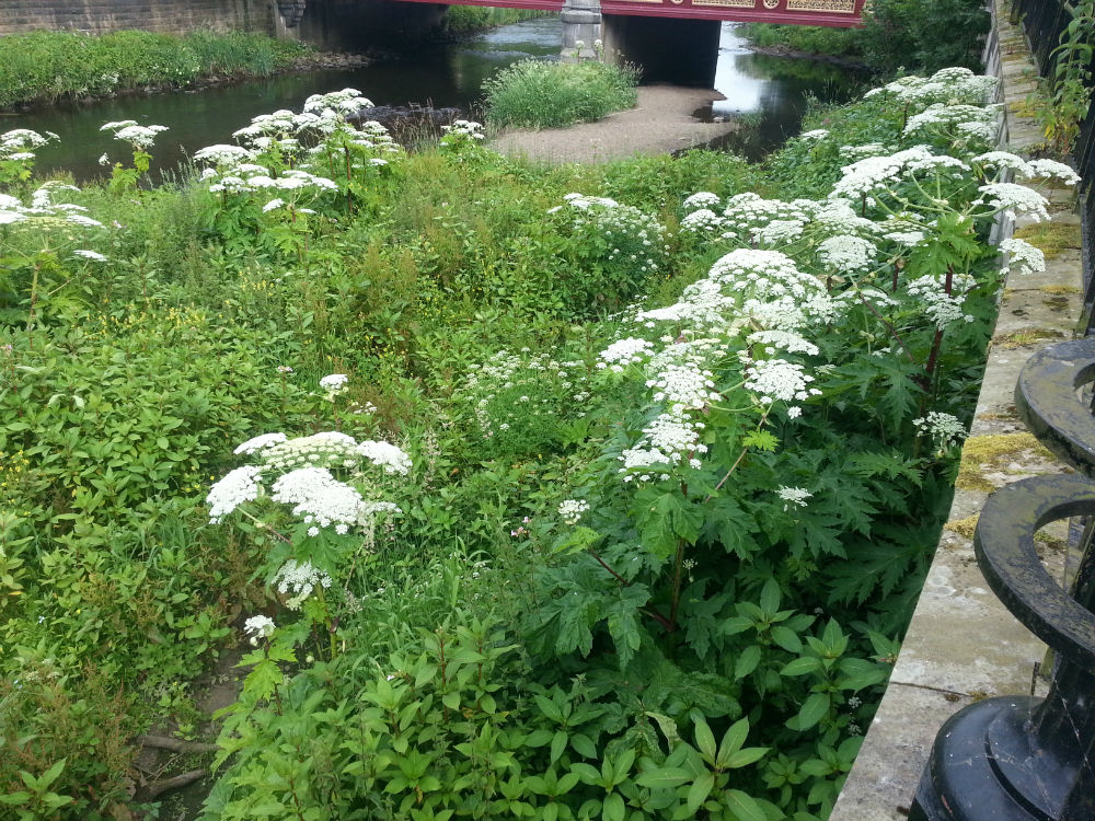 Giant hog weed in water