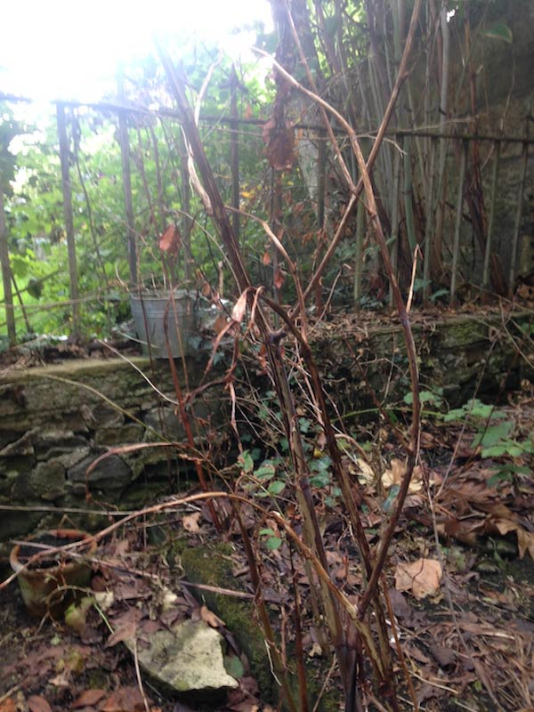 knotweed-after-2